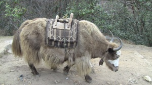 For once a Yak not carrying a load