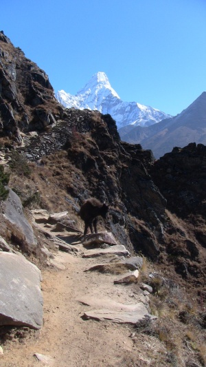 Ama Dablam and the mountain goat